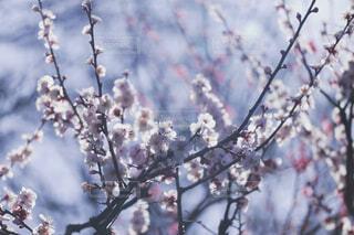 梅の写真・画像素材[4390672]