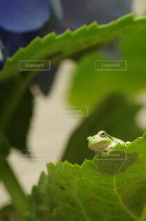 自然,動物,緑,葉,紫陽花,生き物,梅雨,6月,カエル,両生類,アマガエル,接写,クローズアップ,雨蛙,雨季,アジサイ