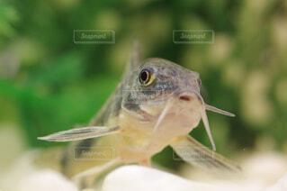 熱帯魚のクローズアップ  コリドラスの写真・画像素材[4363877]