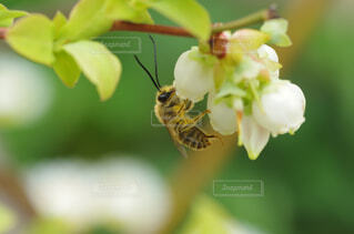 自然,花,動物,ブルーベリー,蜂,接写,クローズアップ,草木,花粉,受粉,果樹,ハナバチ,ヒゲナガバチ