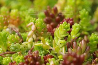 庭,緑,植物,園芸,多肉植物,接写,クローズアップ,マクロ,セダム,ベンケイソウ,グラウンドカバー,マンネングサ,屋上緑化