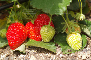 食べ物,春,緑,赤,ガーデニング,いちご,フルーツ,果物,園芸,地面,ベリー,家庭菜園,農業,栽培,収穫,接写,クローズアップ,イチゴ,マクロ