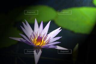 自然,花,青,水面,池,睡蓮,接写,クローズアップ,スイレン,モネ,マクロ,熱帯スイレン,水連