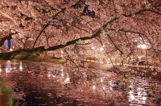 風景,春,桜,幻想的,水面,池,花見,夜桜,花びら,満開,ライトアップ,愛媛県,ソメイヨシノ,西条市,ひょうたん池,イルミネート