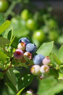 自然,春,フルーツ,果物,ブルーベリー,園芸,果実,ベリー,家庭菜園,新鮮,栽培,収穫,接写,農園,クローズアップ,色づく,果樹,ブルーベリー狩り