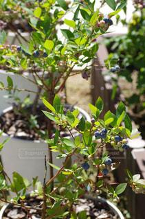 庭でブルーベリーの鉢栽培の写真・画像素材[4366862]