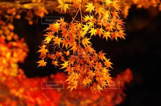 自然,秋,夜,紅葉,植物,赤,葉,ライトアップ,日本庭園,橙色,モミジ,椛,イルミネート