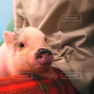 カフェ,動物,大阪,かわいい,豚,関西,子豚,富士フィルム