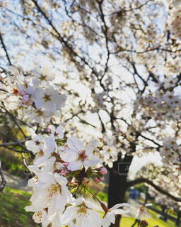 花,春,屋外,樹木,草木,桜の花,さくら,ブルーム,ブロッサム