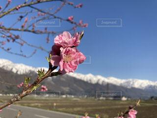 梅の花 雪山 春の写真・画像素材[4354641]