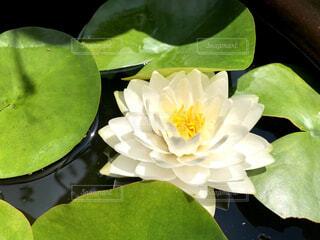 蓮の花 ドアップの写真・画像素材[4354709]