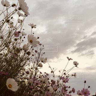 自然,空,花,秋,屋外,コスモス,雲,夕暮れ,夕方,風,秋桜,くもり,草木,日中,ブロッサム