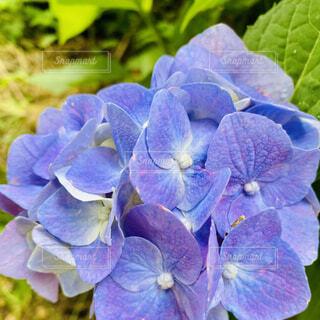 紫陽花の写真・画像素材[4554690]