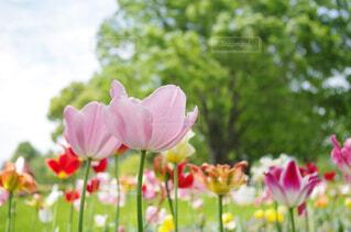 自然,花,春,ピンク,花びら,チューリップ,PENTAX,草木,k50
