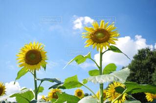 空,花,夏,ひまわり,晴れ,青,黄色,向日葵,PENTAX,ヒマワリ,アリ,k50