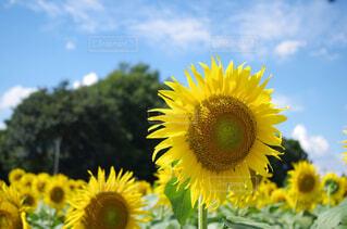 空,夏,ひまわり,向日葵,PENTAX,ヒマワリ,k50