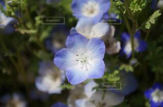 自然,花,春,かわいい,青,ネモフィラ,PENTAX,k50