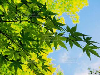自然,風景,空,秋,屋外,京都,緑,葉,樹木,初夏,青紅葉,草木,青紅葉狩り