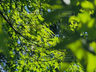 自然,屋外,京都,緑,葉,樹木,初夏,青紅葉,草木,青紅葉狩り