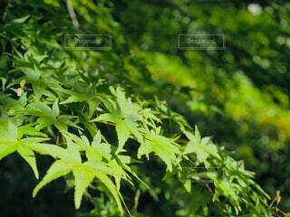 自然,風景,屋外,京都,緑,葉,樹木,初夏,青紅葉,青紅葉狩り