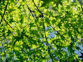 自然,空,花,屋外,京都,緑,葉,樹木,初夏,青紅葉,草木,青紅葉狩り