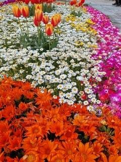 花,ピンク,白,お花,チューリップ,オレンジ,草木
