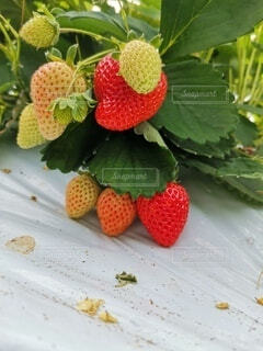 食べ物,いちご,フルーツ,果物,ベリー,草木,イチゴ,自然食品