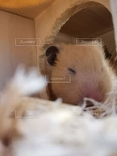動物,ハムスター,屋内,ベージュ,寝てる,おやすみ,ぐっすり,マウス,ネズミ