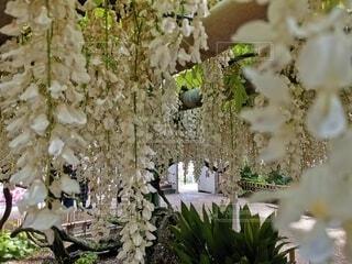 花,白,藤,観葉植物,藤の花,草木