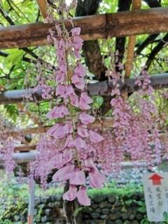 花,ピンク,緑,藤,草木,紅色