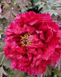花,庭,ピンク,綺麗,花びら,牡丹,草木