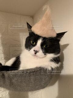 猫,動物,屋内,白,黒,帽子,子猫,壁,座る,まったり,寛ぎ,ハチワレ,ネコ科,猫の毛
