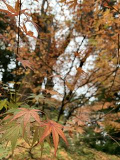 秋,紅葉,屋外,緑,葉,もみじ,オレンジ,樹木,旅行,落葉,草木