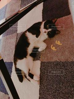 猫,動物,屋内,白,黒,床,子猫,可愛い,ハチワレ,ごろり