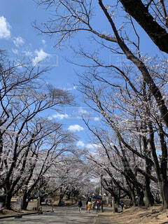 自然,空,公園,春,桜,屋外,雲,晴れ,樹木,道,草木