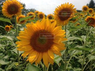 花,ひまわり,黄色,草木,キク目