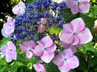 花,屋外,ピンク,綺麗,紫,野外,草木,フローラ