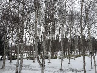 空,冬,木,雪,屋外,白,樹木,寒い,白樺,冷たい,雪国