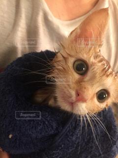 猫,動物,屋内,かわいい,子猫,人物,人,目,お風呂上がり,髭,ネコ科,初めてのお風呂