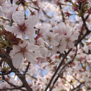 花,屋外,樹木,草木,さくら,ブルーム,ブロッサム