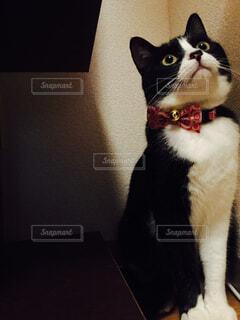 猫,動物,屋内,白,黒,子猫,座る,キメ顔,ハチワレ,和柄,ネコ科,赤い首輪