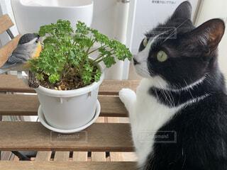 猫,動物,屋内,白,黒,ベランダ,植木鉢,観葉植物,ハチワレ,草木,パセリ