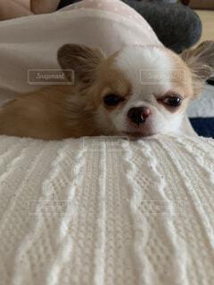 犬,動物,チワワ,屋内,白,景色,クッション,まったり,ベッド,寝そう