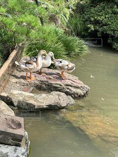 動物,鳥,屋外,湖,水面,樹木,岩,旅行,可愛い,鴨,日向ぼっこ,草木,食いしん坊