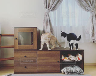 猫,動物,屋内,壁,家具,茶トラ,ハチワレ