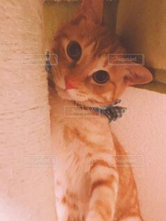猫,動物,屋内,オレンジ,子猫,キャットタワー,茶トラ