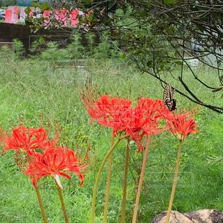 花,屋外,赤,草,曼珠沙華,蝶,草木,ガーデン