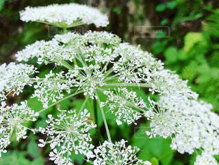 花,屋外,緑,白,樹木,草木,山中,ふわり