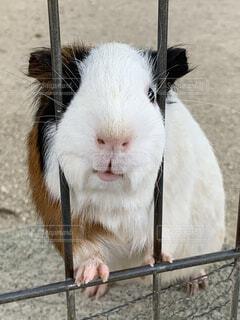 動物,屋外,白,白黒,モルモット,ラット,マウス