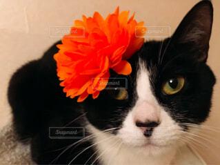 猫,動物,にゃんこ,屋内,白,黒,オレンジ,ねこ,オレンジの花,大きい,cat,目,ハチワレ